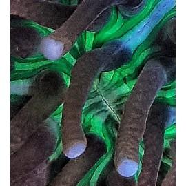 Heliofungia